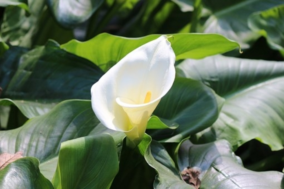 Calla Lily Care after Blooming + How to make them Bloom