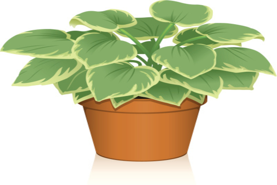 How and when to divide hostas