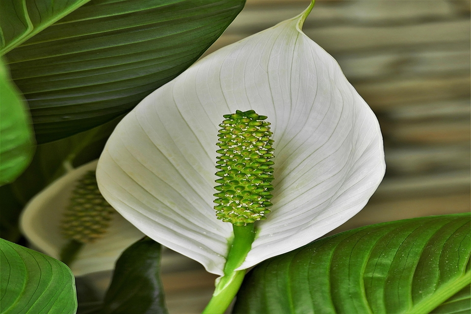 Benefits of peace lilies in your home