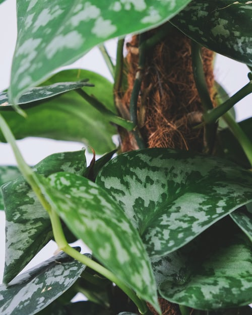 Pothos Wilting After Repotting