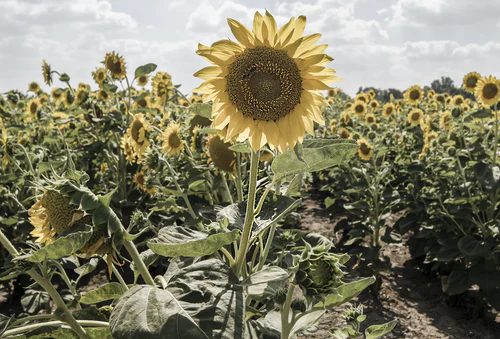 How to keep deer out of your sunflowers garden