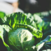 Can you eat cabbage leaves Raw